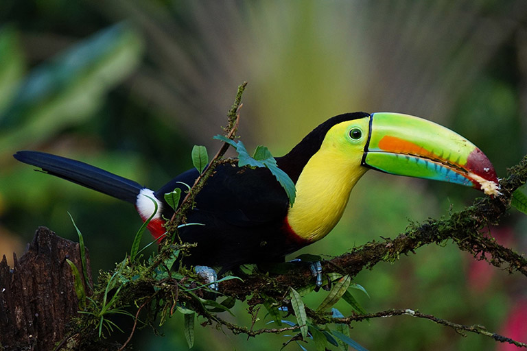 Costa Rica - Keel-Billed Rainbow Toucan