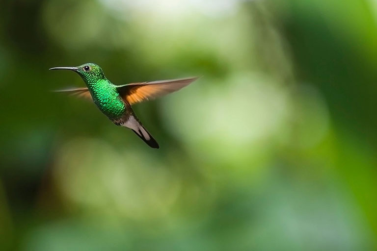 Costa Rica - Hummingbird