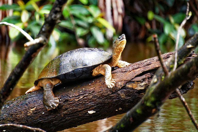 Costa Rica - River Turtle