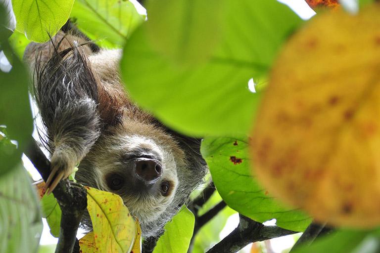 Costa Rica - Hanging Sloth