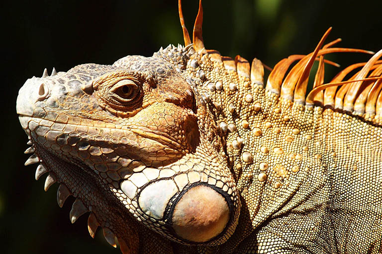 Costa Rica - Iguana Lizard