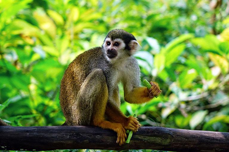 Costa Rica - Squirrel Monkey