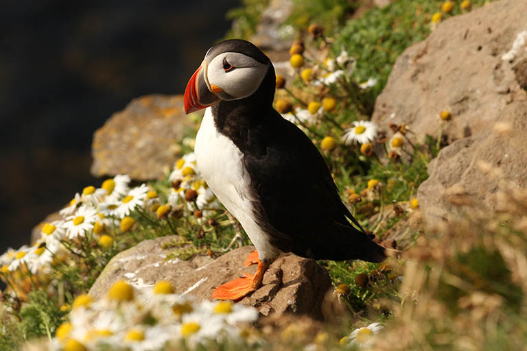 Iceland - Puffin Colony