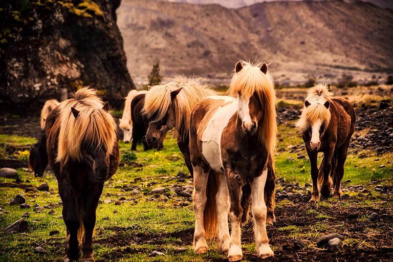 Icedland - Icelandic Horses