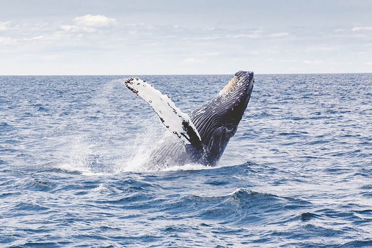 Iceland - Whale-Watching Humpback
