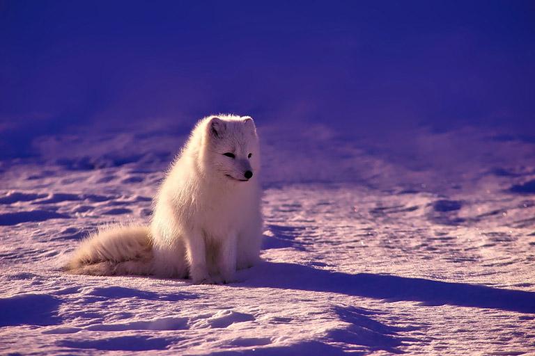 Iceland - Arctic Fox