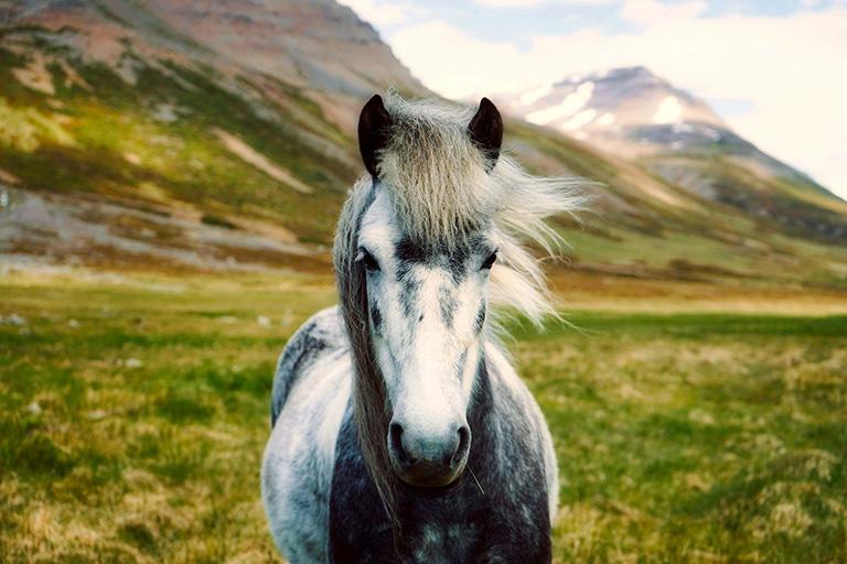 Iceland - Icelandic Horse
