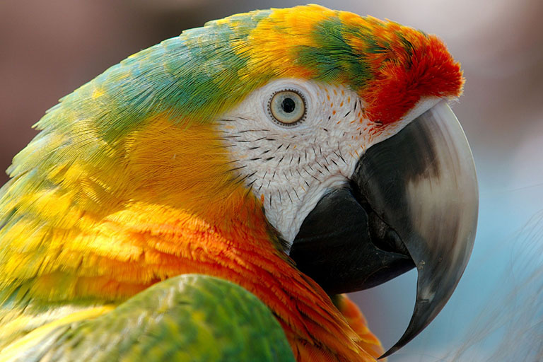 Peru - Amazon Parrot