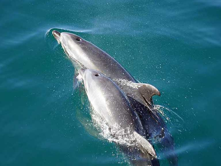 New Zealand - Hector Dolphins