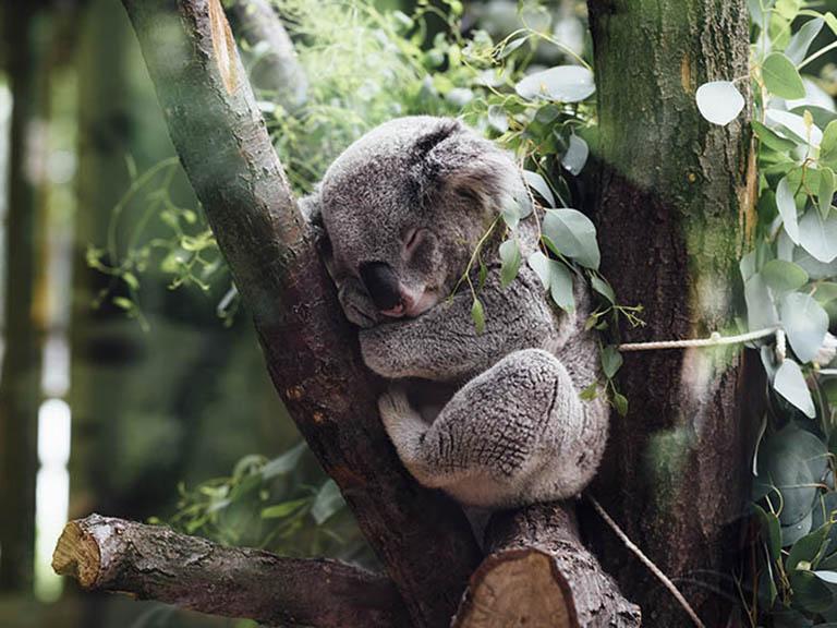 Australia - Sleeping Koala