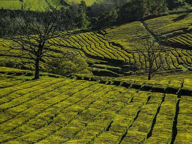 Azores - Gorreana Tea Plantation