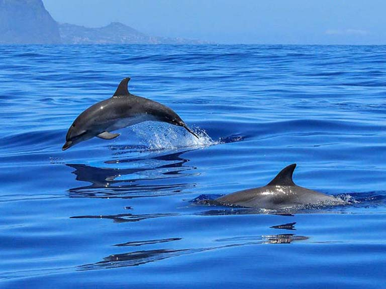 Azores - Swimming with Dolphins