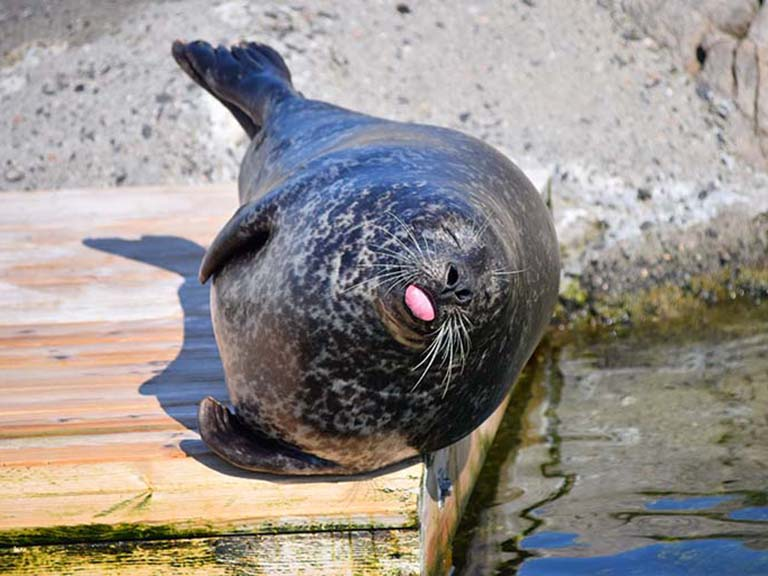 Norway - Lofoten Seal