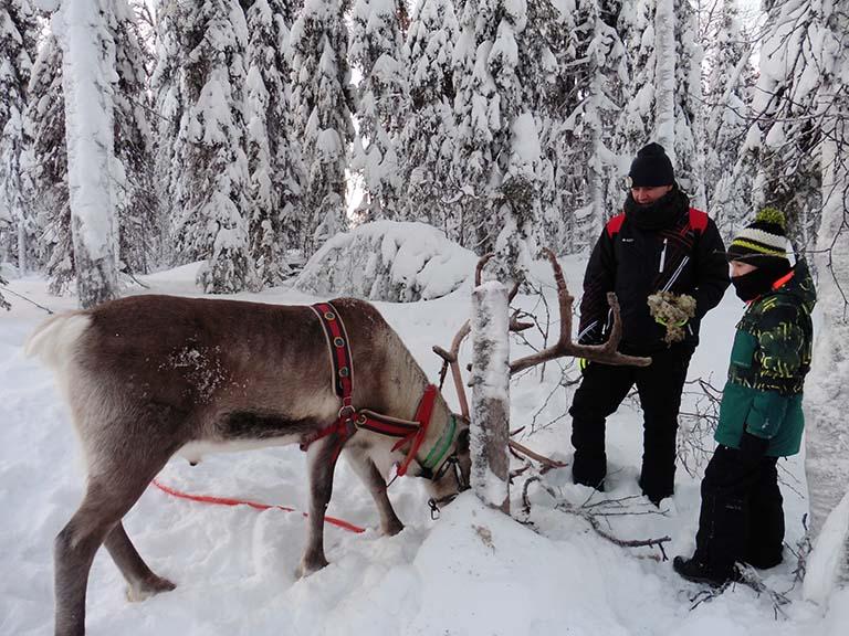 Lapland - Reindeer Feeding