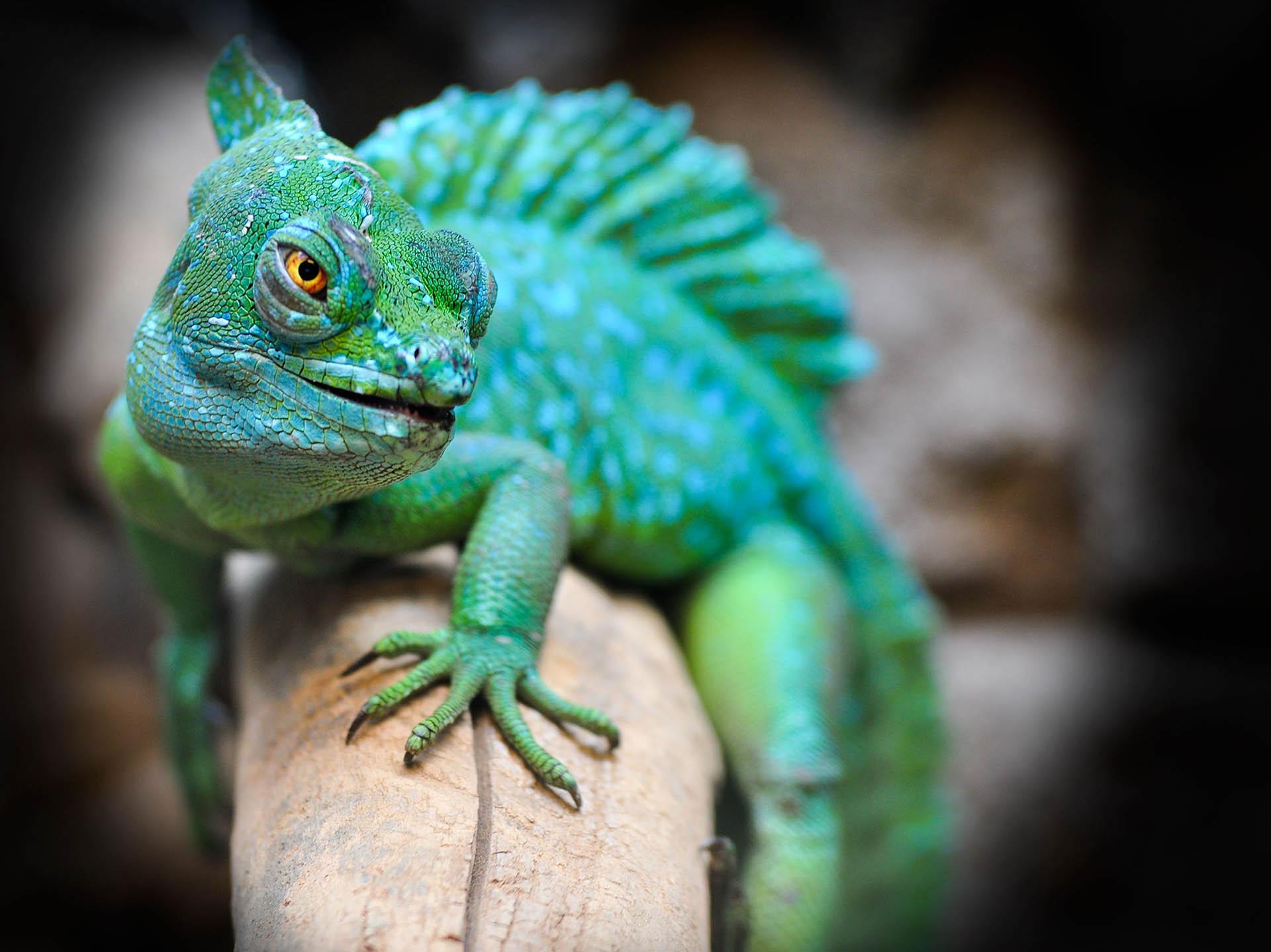Costa Rica - Green Lizard