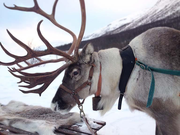 Finnish Lapland - Reindeer