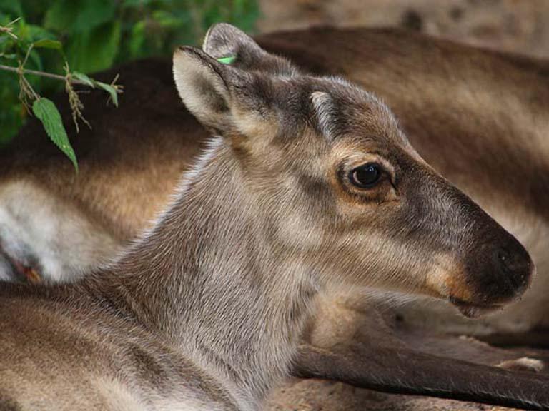Finnish Lapland - Reindeer Calf