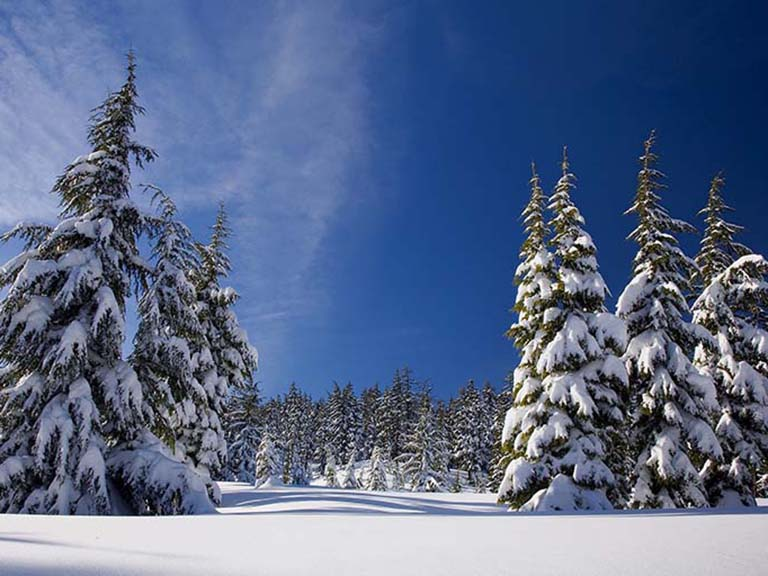 Lapland - Snowy Pine Forest